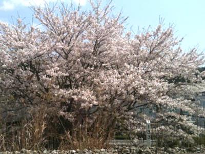 2011kochi-sakura2.jpg