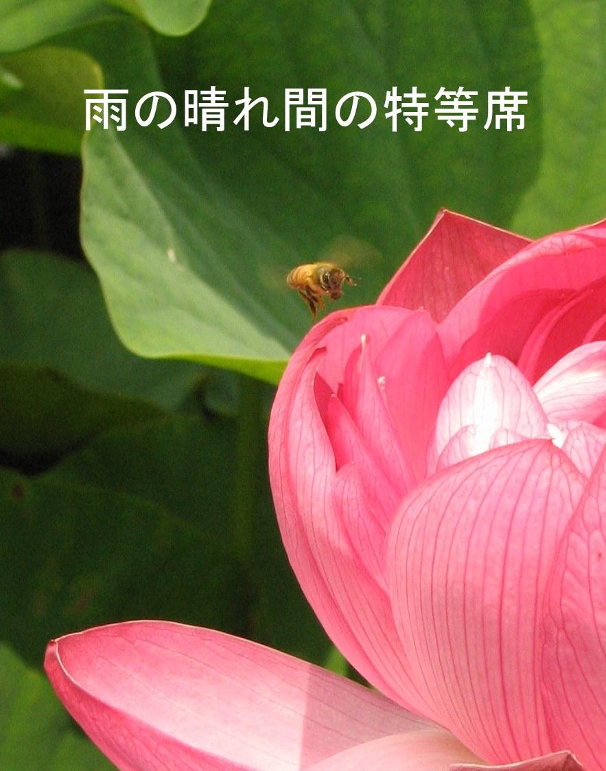 ハチと蓮.JPG