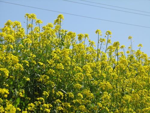 菜の花.JPG