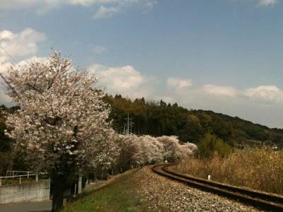2011kochi-sakura1.jpg